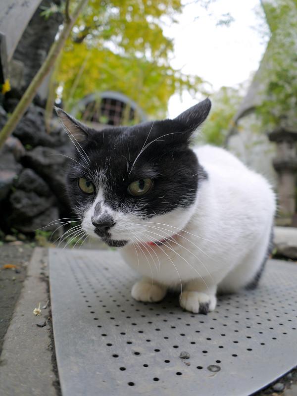 鉄板と白黒猫2