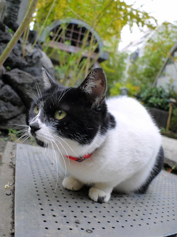 鉄板と白黒猫3