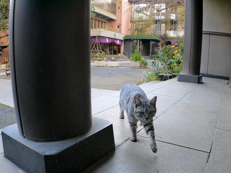 歩き寄るサバトラ猫3