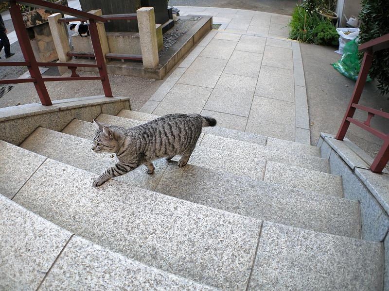 階段を再び上がるサバトラ猫3