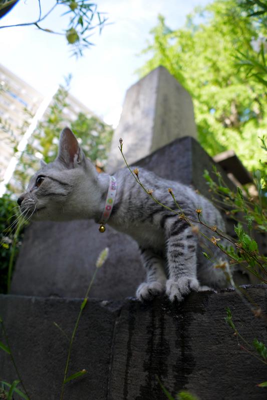 石碑から興味津々のサバトラ仔猫4