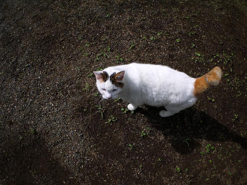 庭園の白キジ猫1
