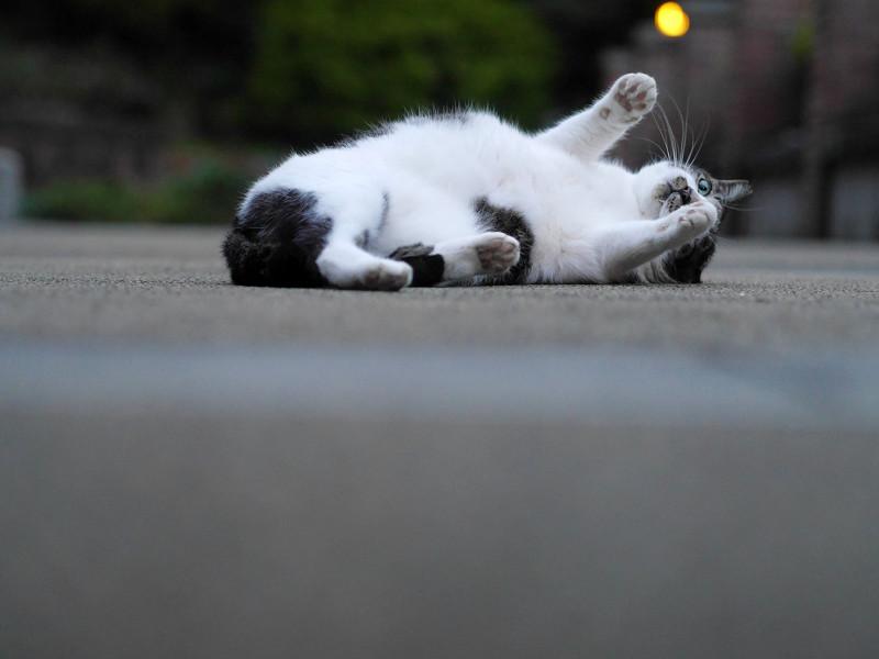 公園で仰向けになる白キジ猫1
