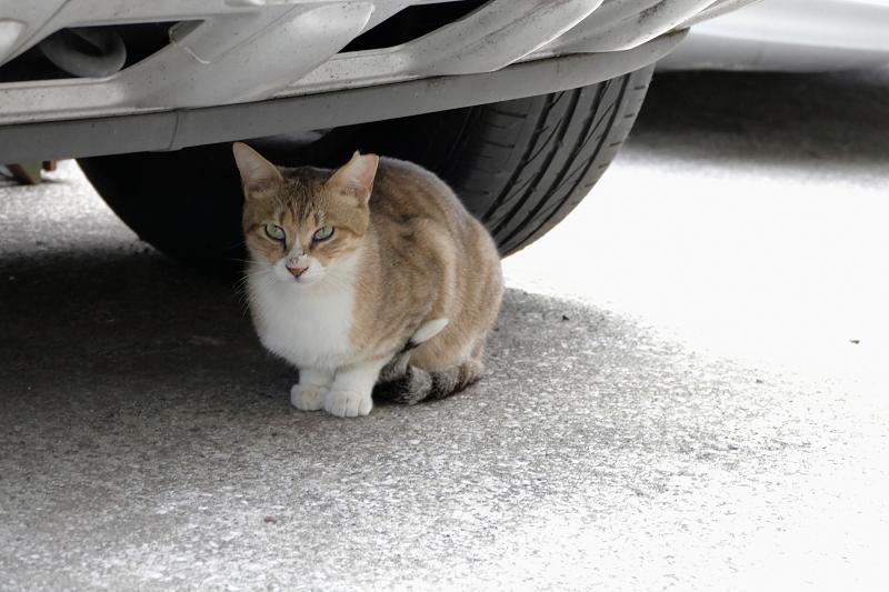 車の下に移動した猫1