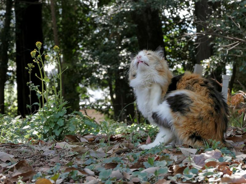 落ち葉の上でカキカキする三毛猫1