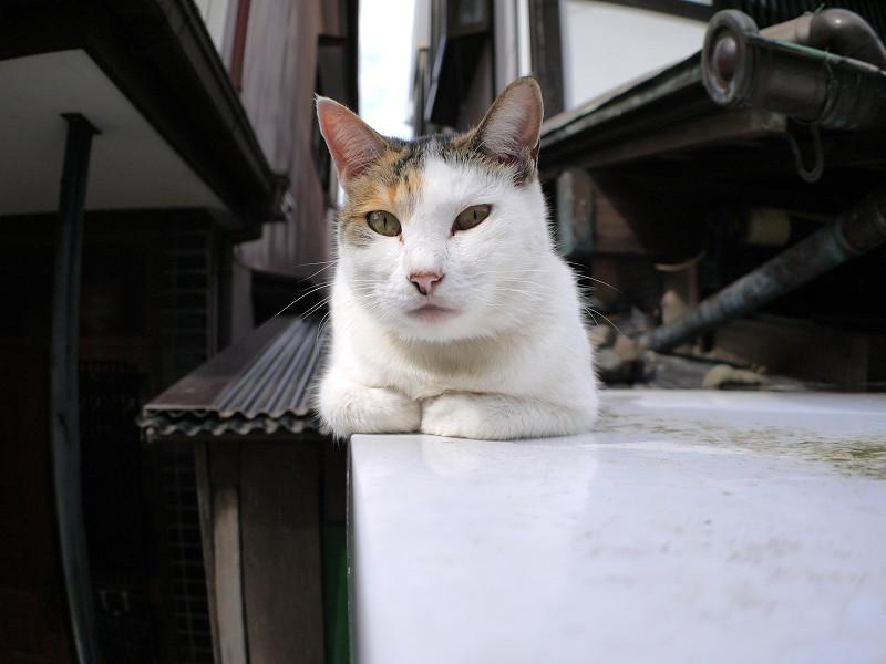 自販機上の三毛猫2