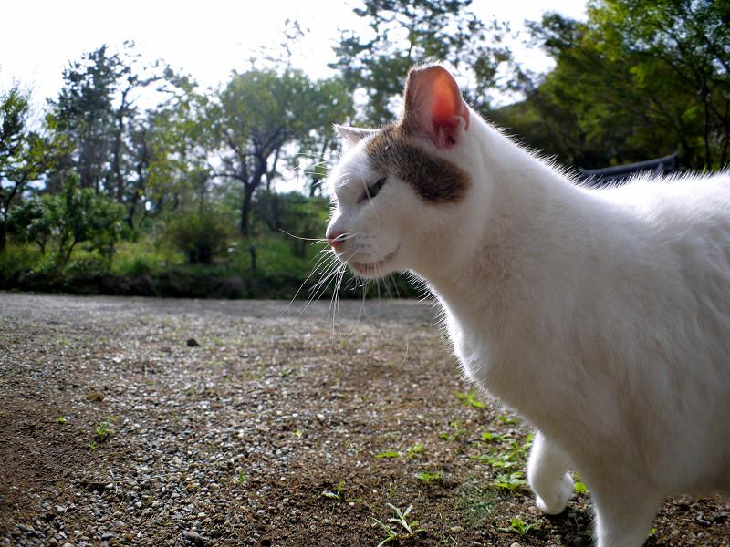 庭園の白キジ猫2