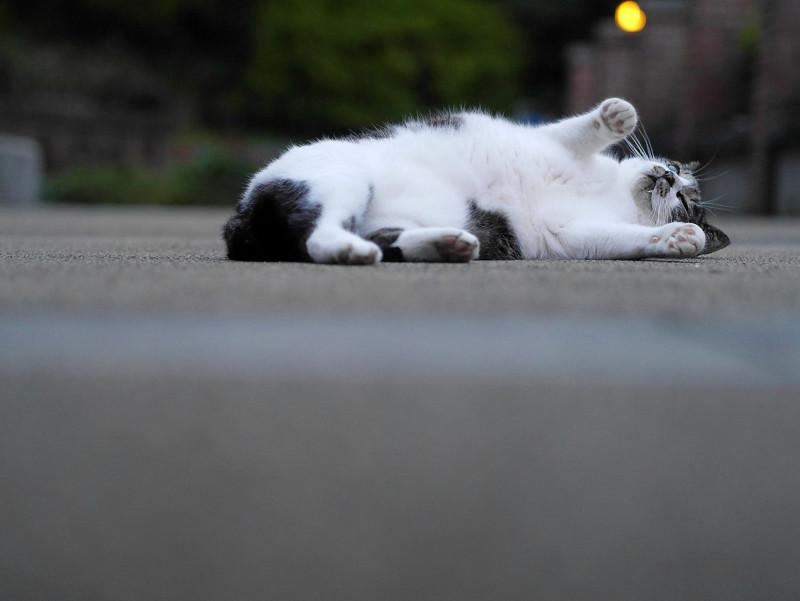 公園で仰向けになる白キジ猫2