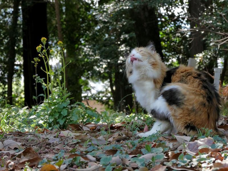 落ち葉の上でカキカキする三毛猫2