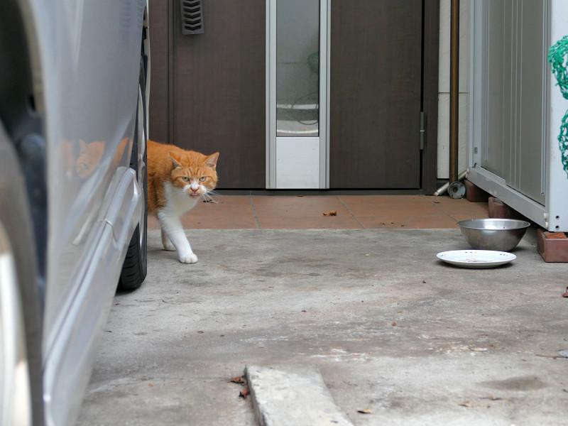 ガレージの茶トラ猫2