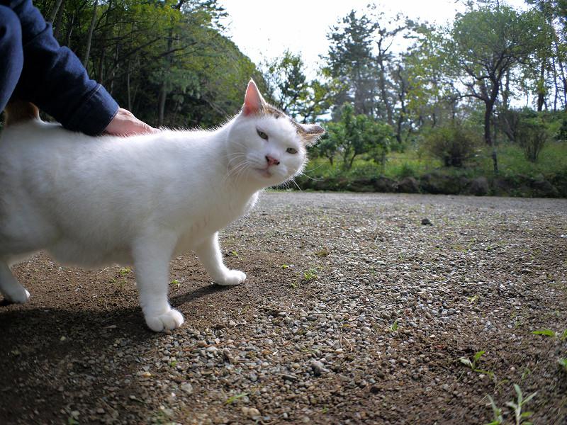 庭園の白キジ猫3