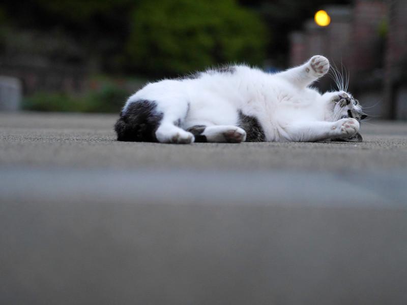 公園で仰向けになる白キジ猫3