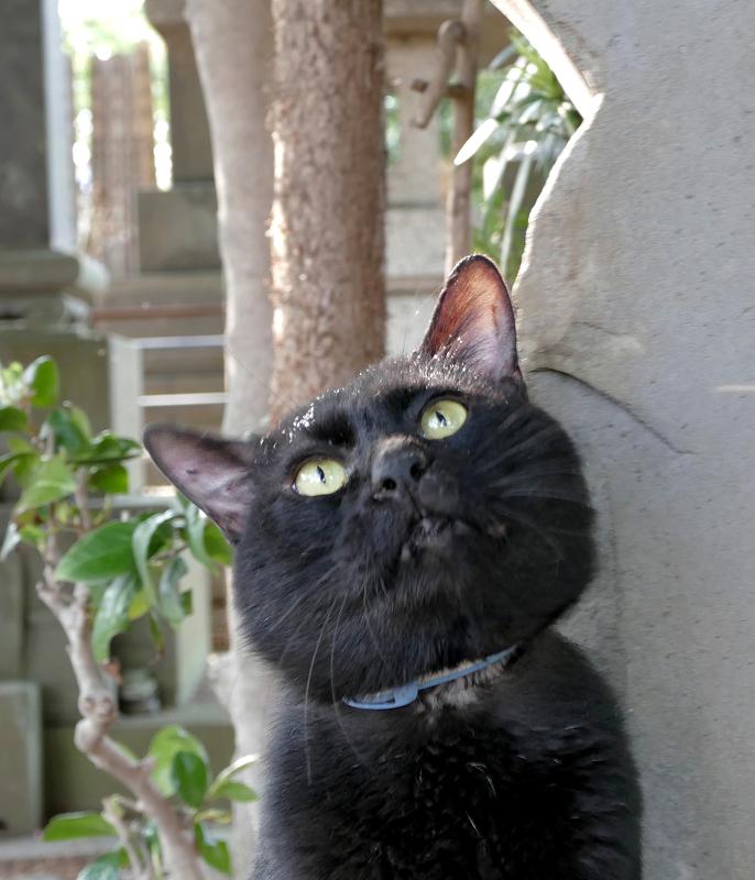 見上げる黒猫3