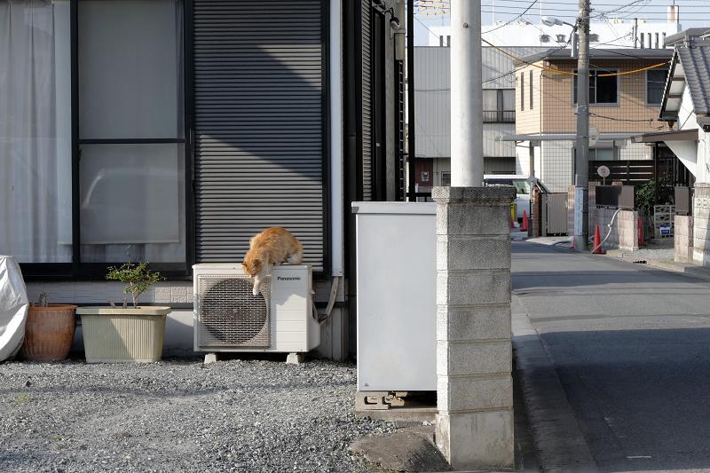 室外機から降りてくる毛長の茶白猫1