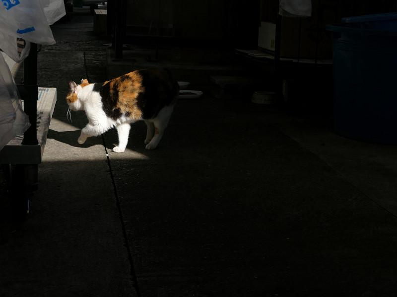 日陰から日向に出てきた三毛猫1