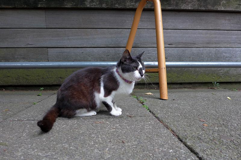首輪をしている外猫黒白猫2
