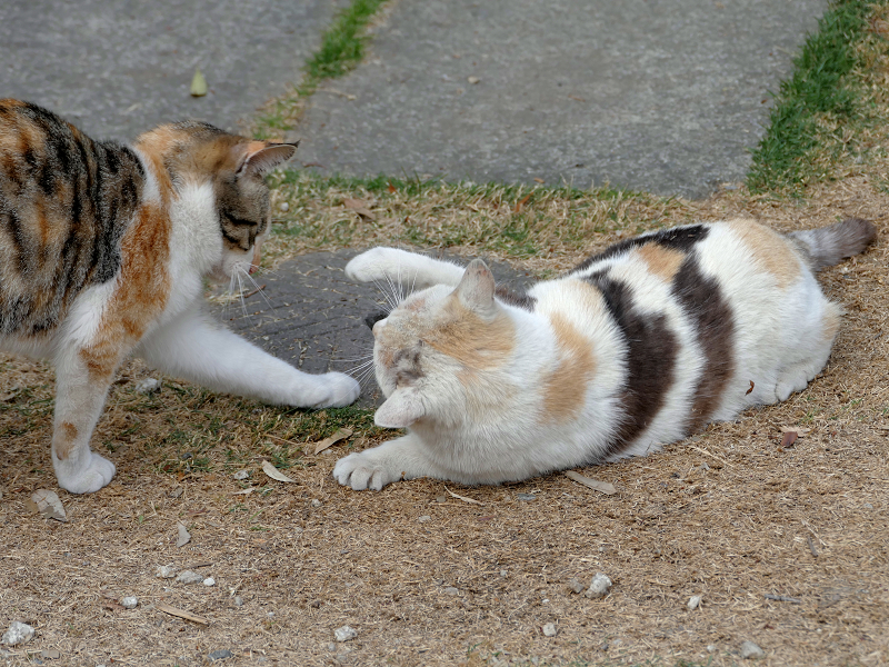 何かを話していた若い三毛猫と大人の三毛猫2