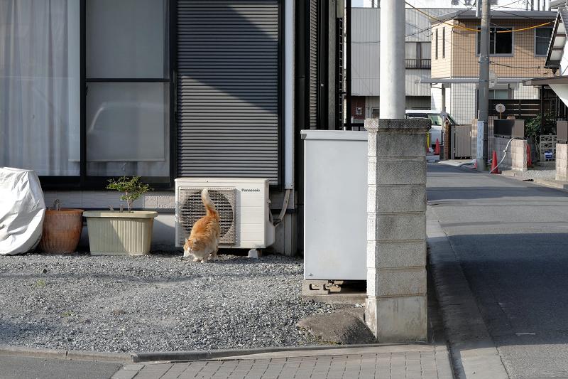 室外機から降りてくる毛長の茶白猫3