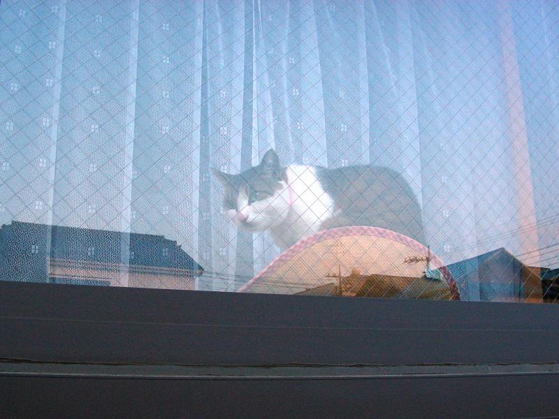 ガラス窓越しのキジ白猫1
