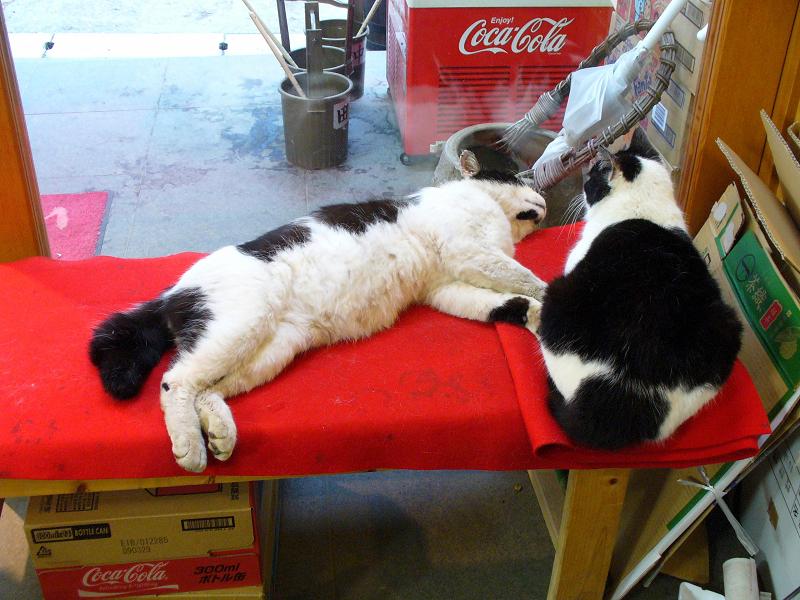緋毛氈の上で寝ている黒白猫1