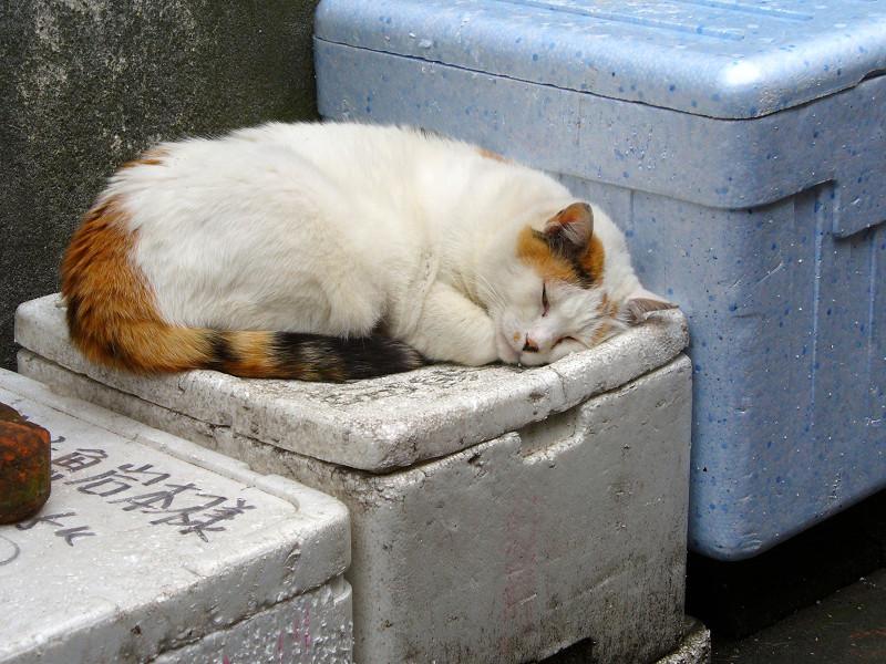 発泡スチロール箱で寝ている三毛猫1