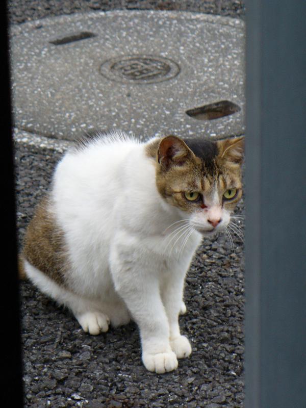 睨み顔の白キジ猫1