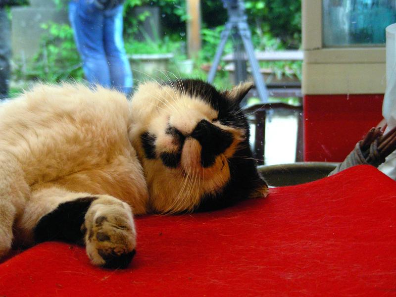 緋毛氈の上で寝ている黒白猫2