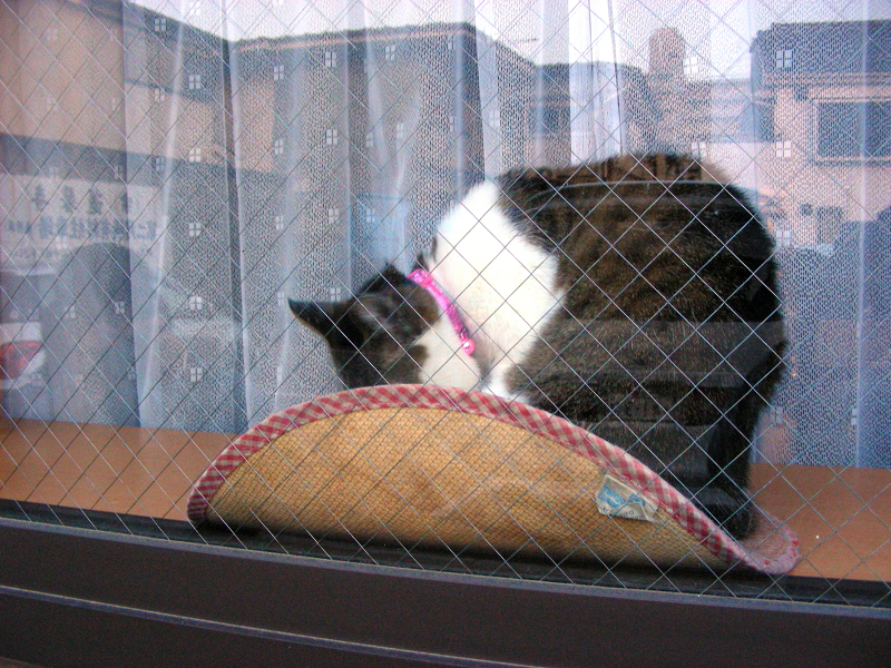 ガラス窓越しのキジ白猫2
