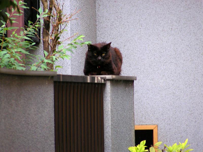 玄関先焦げ茶猫