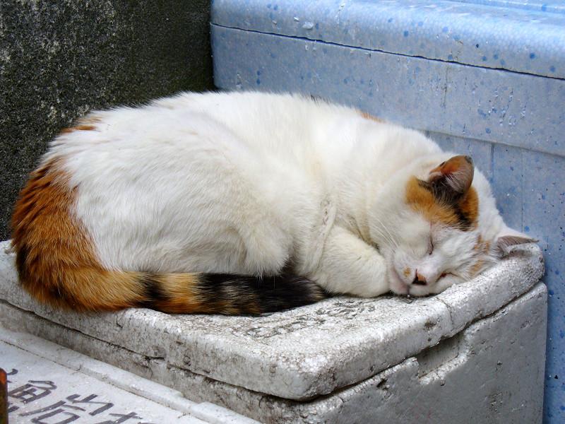 発泡スチロール箱で寝ている三毛猫2