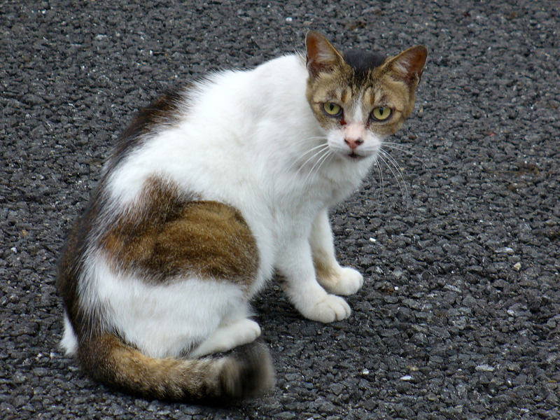 睨み顔の白キジ猫2