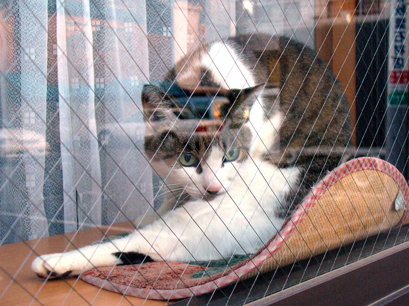 ガラス窓越しのキジ白猫3