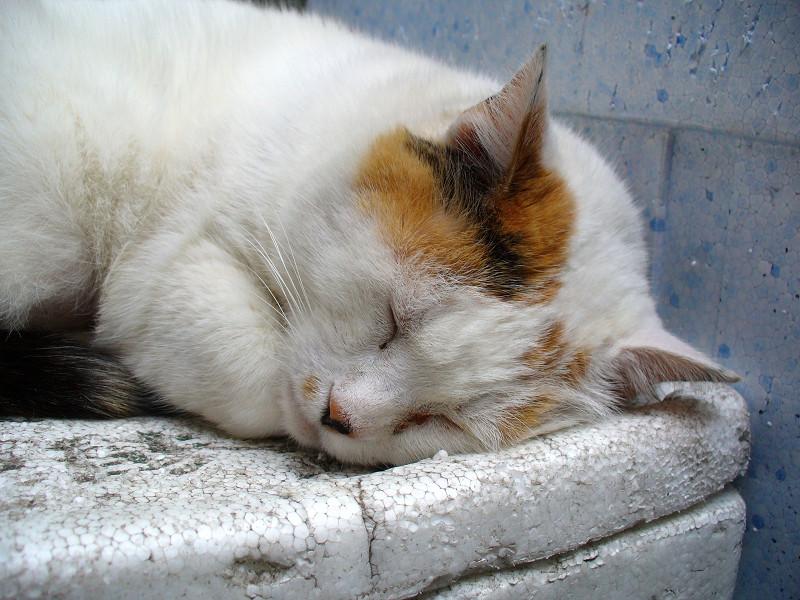 発泡スチロール箱で寝ている三毛猫3