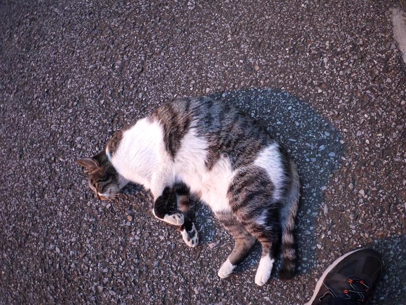 境内で寝ているキジ白猫2