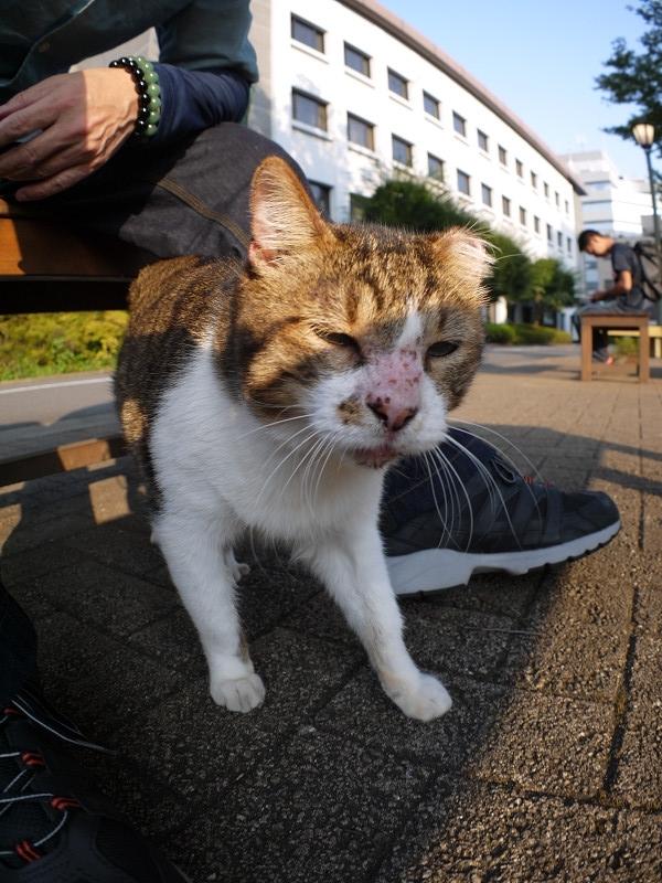 足に絡むキジ白猫1