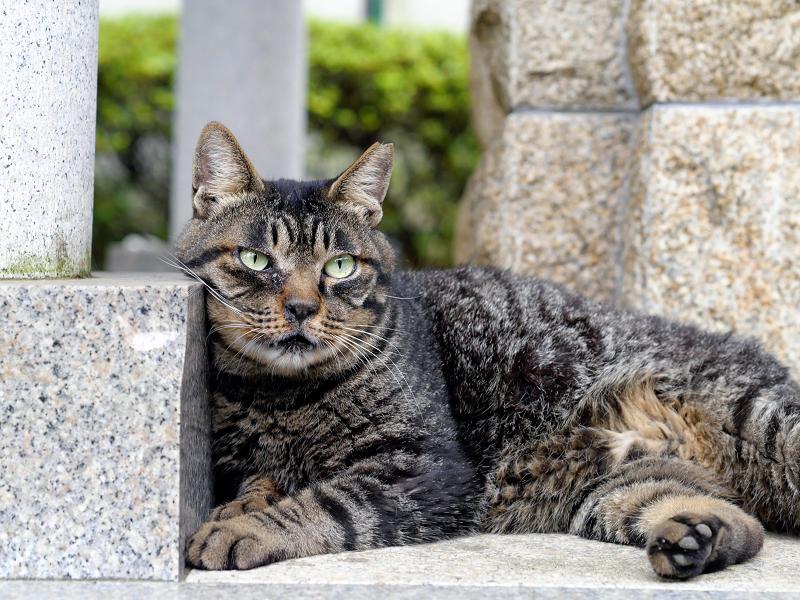 井戸の横のキジトラ猫1