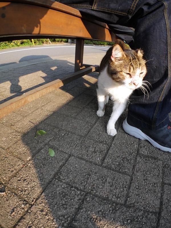 足に絡むキジ白猫2