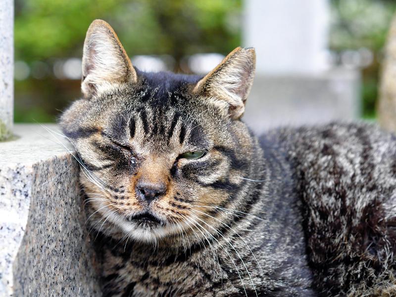 井戸の横のキジトラ猫2