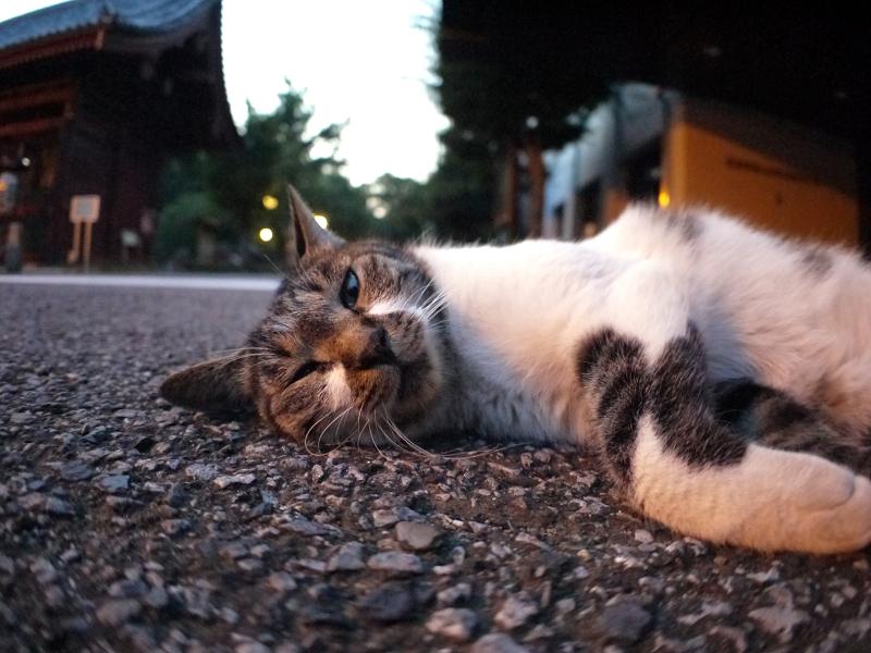 境内で寝ているキジ白猫1