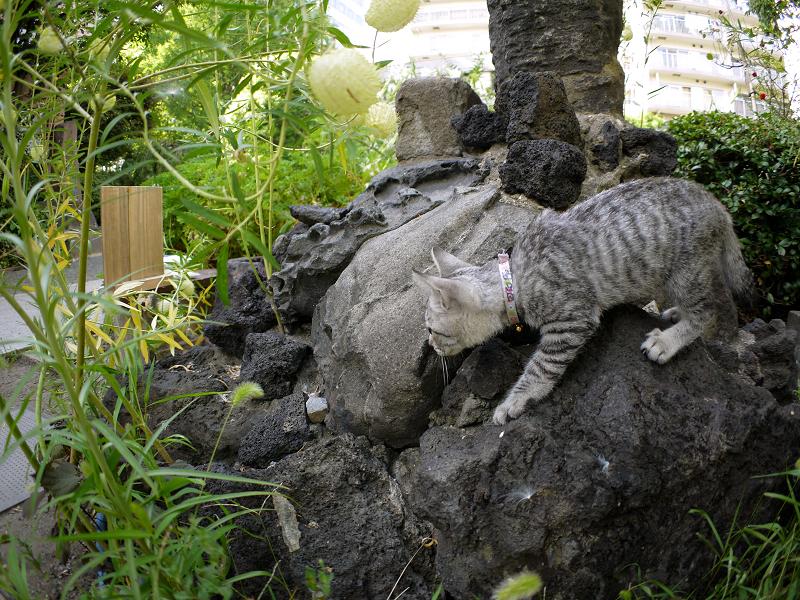 岩のゆっくり移動するサバトラ仔猫1