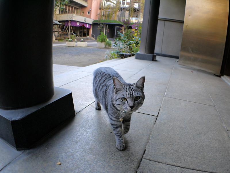お堂前のサバトラ猫1