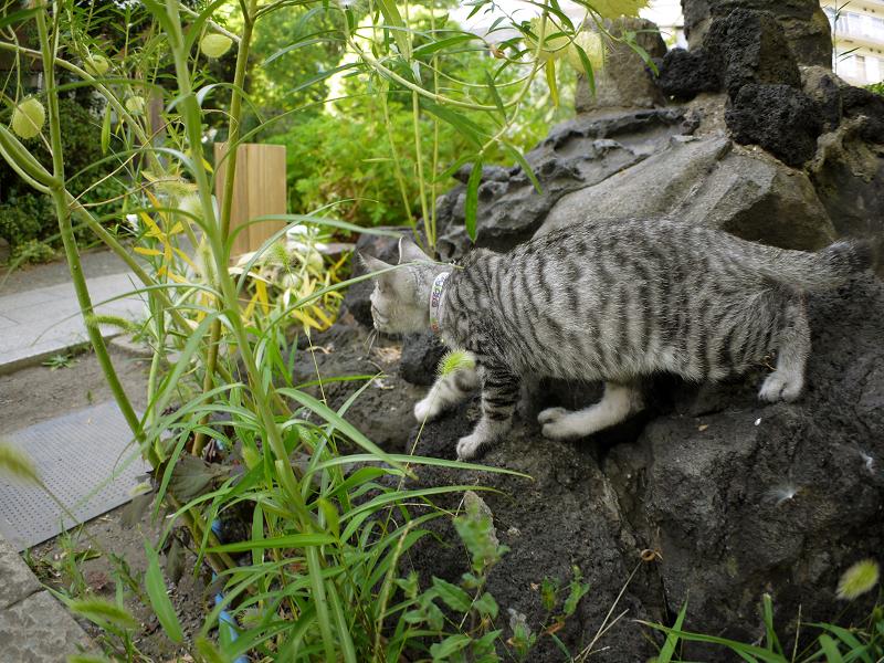 岩のゆっくり移動するサバトラ仔猫2