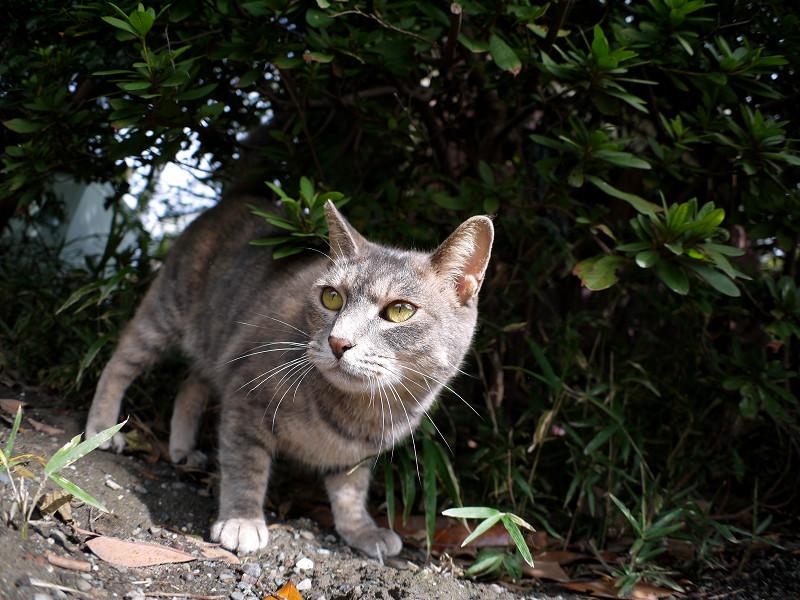 草むらとグレー猫1