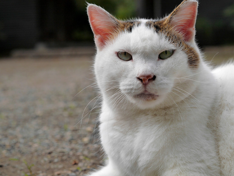 モミアゲ柄の白キジ猫のアップ1