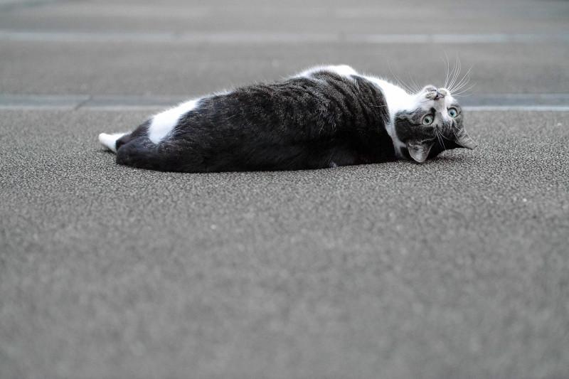 こちらに回転するキジ白猫1