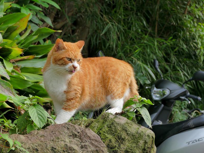 岩場と茶白猫1