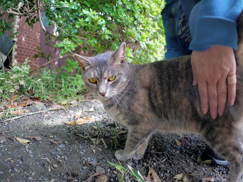草むらとグレー猫2