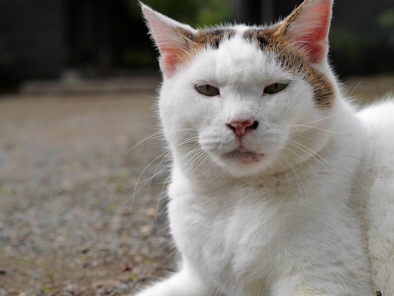 モミアゲ柄の白キジ猫のアップ2