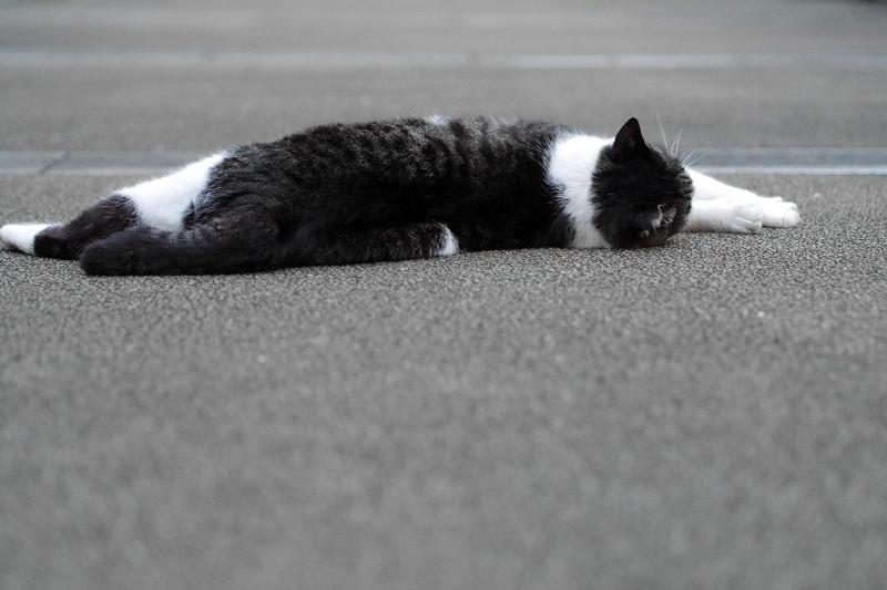 こちらに回転するキジ白猫2