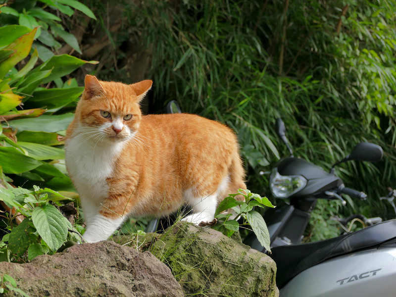 岩場と茶白猫2
